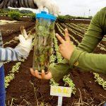 蕎麦栽培体験 間引き